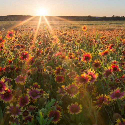 Gaillardia Sunset