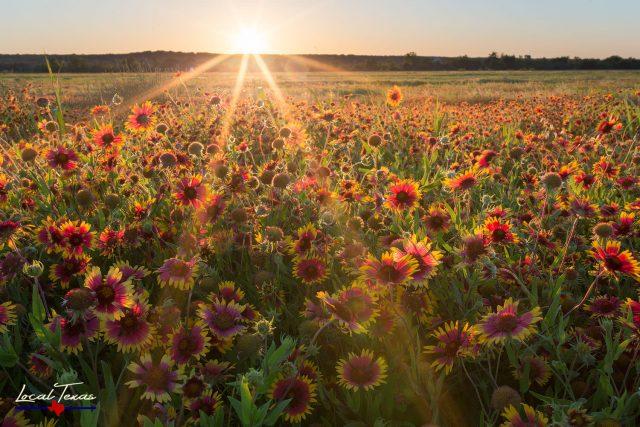 Gaillardia Sunset